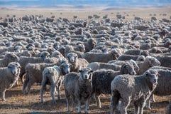 Dat is heel wat sheeps, Tierra del Fuego, Argentinië Royalty-vrije Stock Foto's
