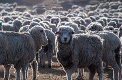 Dat is heel wat sheeps, Tierra del Fuego, Argentinië Stock Fotografie