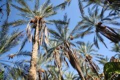 Dat palmy lasowe Zdjęcie Stock