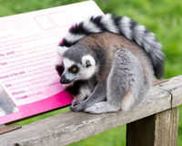 Data Deficient Lemur Stock Photos