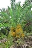 Data na drzewko palmowe zieleni pi?knej obraz stock