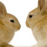 Datar dos coelhos Fotografia de Stock Royalty Free