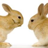 Datar dos coelhos Fotos de Stock Royalty Free