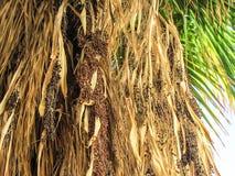 Datas das folhas de palmeira da data fotografia de stock royalty free