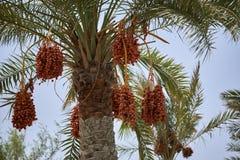 Datas de amadurecimento que penduram de uma palmeira da data Imagem de Stock Royalty Free