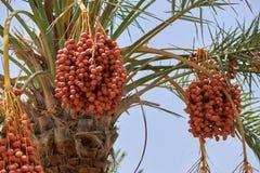 Datas de amadurecimento que penduram de uma palmeira da data Fotografia de Stock