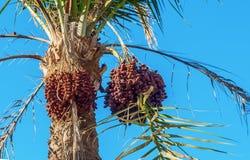 Datas em uma palmeira contra o céu azul, close-up foto de stock royalty free