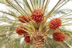 Datas khalal vermelhas bonitas em uma árvore Foto de Stock