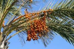 Datas maduras em uma palmeira fotografia de stock royalty free