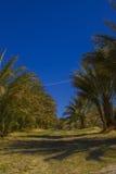Date árvores no parque da nação do Vale da Morte, Califórnia Fotos de Stock Royalty Free