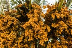 Date della palma di colore ambrato Fine in su natu strutturato astratto Immagine Stock