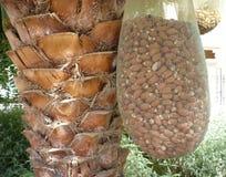 Date e tronco della palma Immagine Stock Libera da Diritti