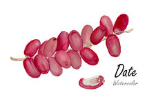 Date, fresh Date  .Hand drawn watercolor painting on white background.Vector illustration Royalty Free Stock Image