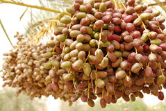 Date fruit. Dates clusters hanging down from the palm tree Stock Images