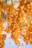 Date fruits on the tree. Royalty Free Stock Photos