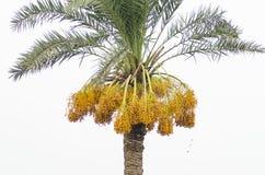 Date gialle crude su un albero fotografie stock