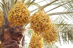 Date gialle e verdi in una palma da datteri Fotografie Stock Libere da Diritti