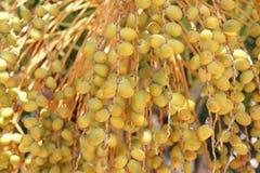 Date gialle sull'albero della palma da datteri, agricoltura Immagini Stock Libere da Diritti