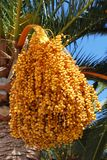 Date laden palm tree, Spain. Stock Photography