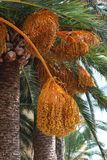 Date laden palm tree, Spain. Royalty Free Stock Photo