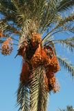 Date laden palm tree, Spain. Royalty Free Stock Photography