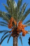 Date laden palm tree, Spain. Royalty Free Stock Photos
