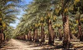 Date Orchard in Mecca royalty free stock photo