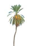 Date palm Stock Photos