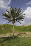 Date Palm Royalty Free Stock Photography