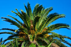 Date palm. Cluster of unripe figs on date palms. Yellow-green small fruits royalty free stock photography