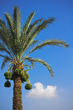 Date-palm Royalty Free Stock Images