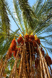Date palm. Royalty Free Stock Image