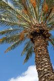 Date palm. Against the blue sky Stock Image