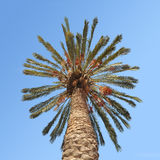 Date palm. Against the blue sky Royalty Free Stock Photography