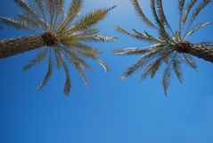 Date palm Stock Photos