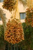 Date-palm. With buches of date Stock Images