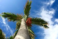 Date-palm. At sunny tropical island Stock Photo