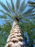 Date palm. Palm tree veiwed from bottom stock image