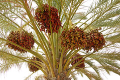 Date palm. Dates clusters hanging down from the palm tree Royalty Free Stock Images