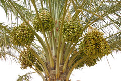 Date palm. Dates clusters hanging down from the palm tree Stock Photos