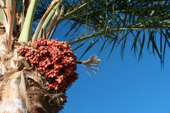 Date palm. Tree and fruits hanging on the tree Stock Image