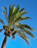 Date palm. This picture has been taken in Minorca. This is a date palm on the blue sky of the summer Stock Photography