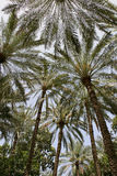 Date Palm Abstract Royalty Free Stock Photography
