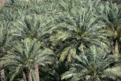 Date Palm Abstract Royalty Free Stock Images