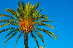 Date palm against clear blues sky lit by golden sun beams, low-angle shot, background, wallpaper Royalty Free Stock Photo