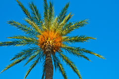 Date palm against clear blues sky lit by golden sun rays, low-angle shot, background, wallpaper Stock Photos