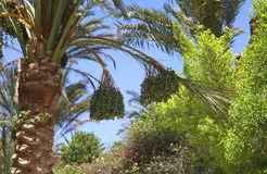 Date palm Royalty Free Stock Image
