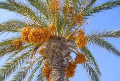 Date Palm from below. Date Palm from below with exotic fruits stock photography