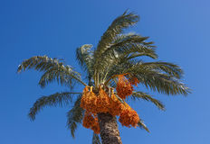 Date palm Stock Images