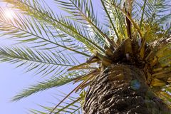 Date palm bottom view. Blue sky. Royalty Free Stock Photos